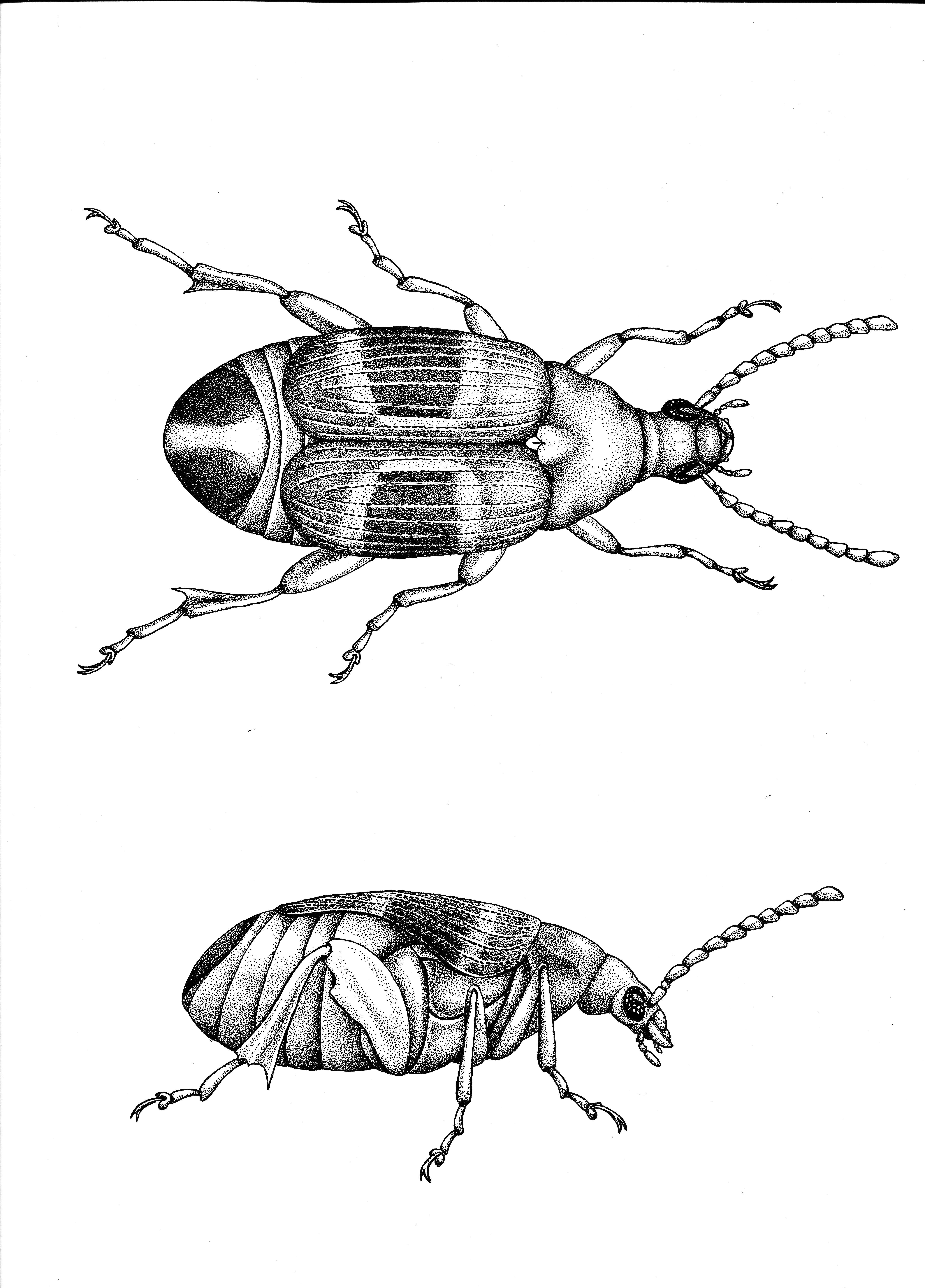 Drawing of C. maculatus (by Amy Springer)